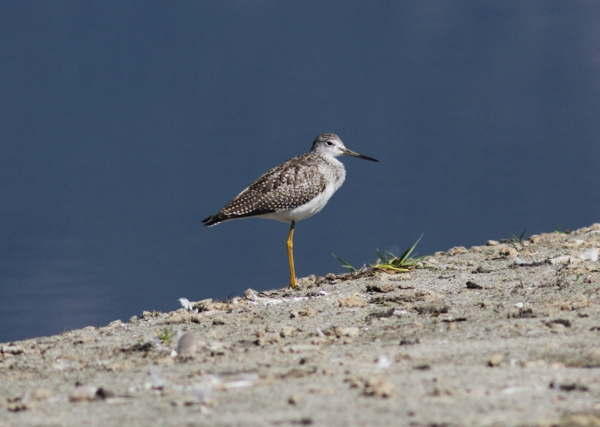 Greater Yellowlegs ghj3