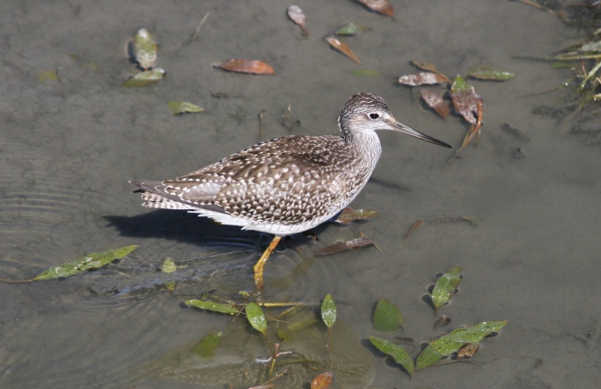 Greater Yellowlegs hghk3.JPG