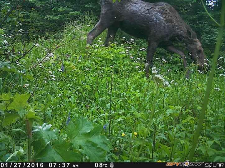 Moose  (2).JPG