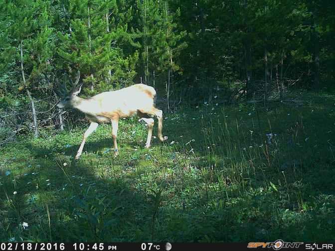 Mule Deer 7 (1).JPG