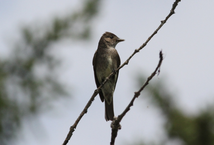 Olive-sided Flycatcher jkj3.JPG