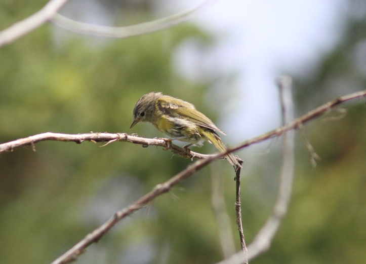 Orange-crowned Warbler khhjh3.JPG