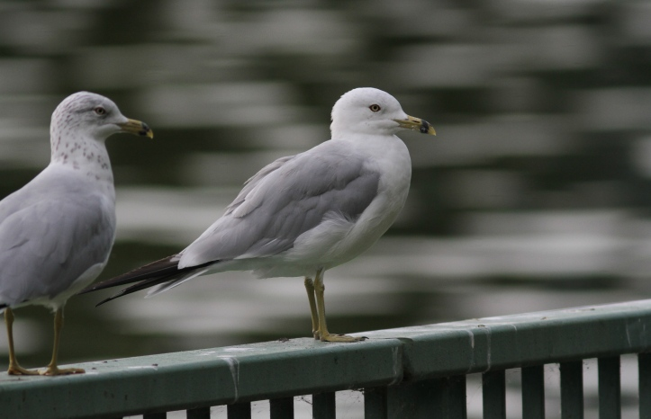 Ring-billed gull gghghj3.JPG
