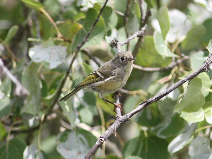 Ruby-crowned Kinglet jjkk3.JPG