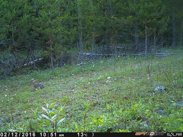 Snowshoe Hare 2.JPG