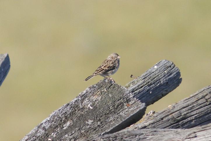 Vesper Sparrow jljl3