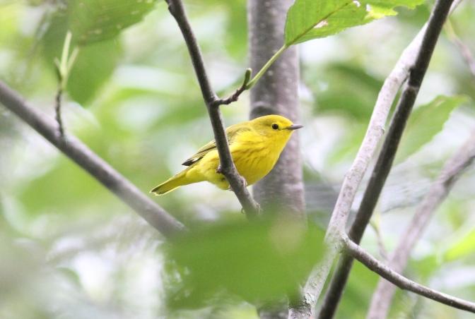 Yellow Warbler kkh3.JPG