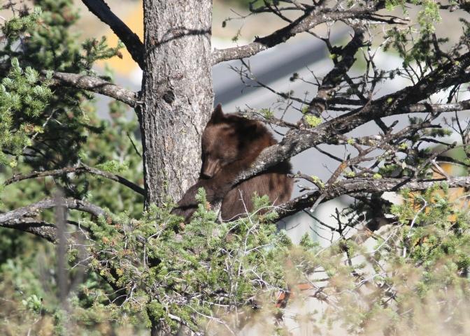 Black Bear 192