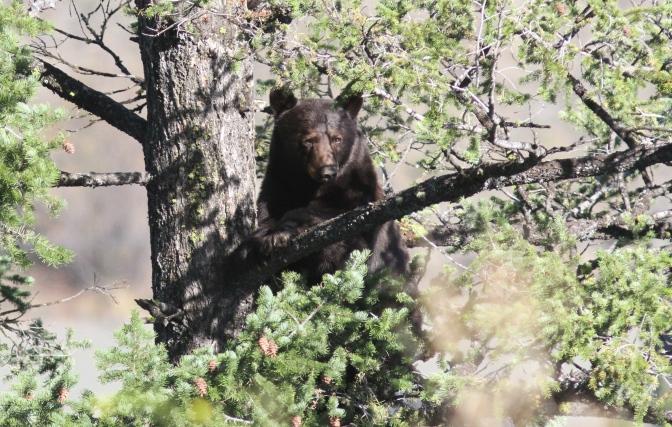 Black Bear 194
