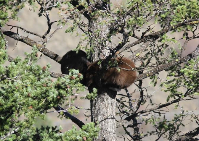 Black Bear 197