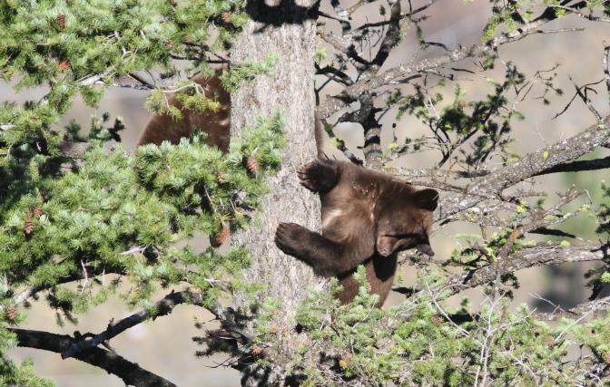 Black Bear 205