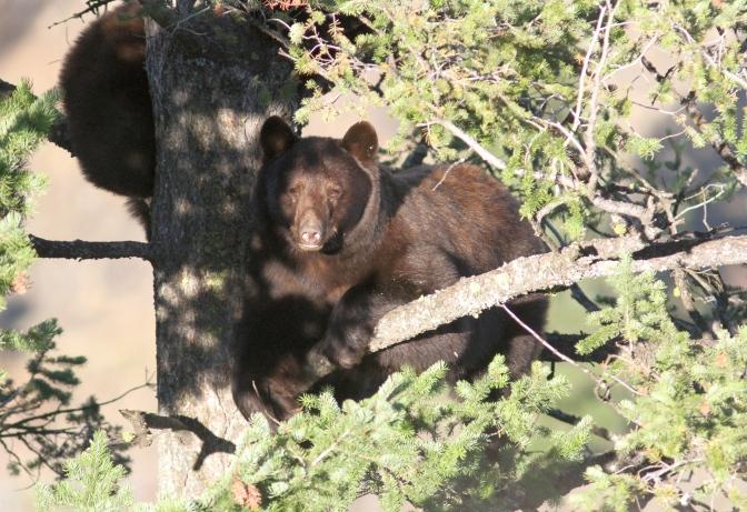 Black Bear 212