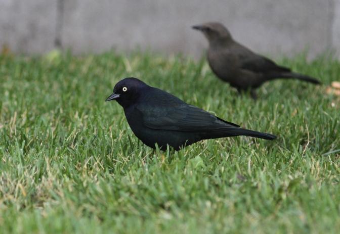 Brewer's Blackbird ghgfg3