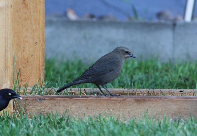 Brewer's Blackbird hggh3.JPG