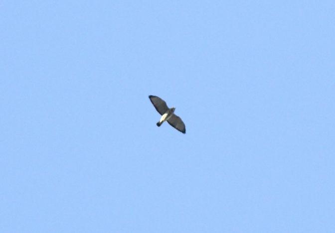 Broad-winged Hawk ghgk3.JPG