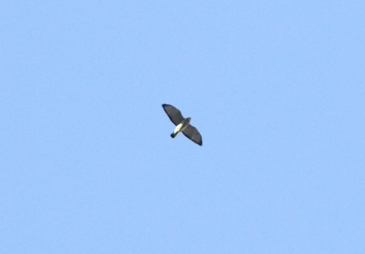 Broad-winged Hawk ghgk3.JPG