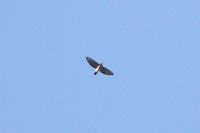 Broad-winged Hawk hggh3.JPG