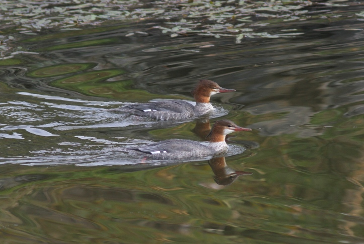 Common Merganser gjfjf3.JPG