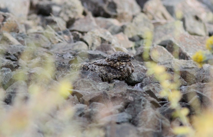 Common Poorwill ghhg3