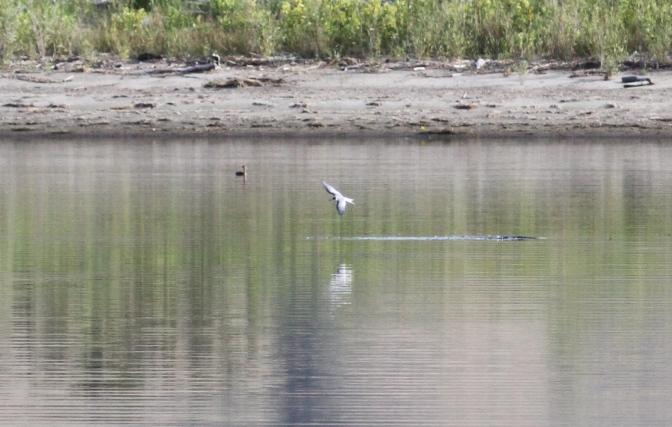 Common Tern jhkjj3
