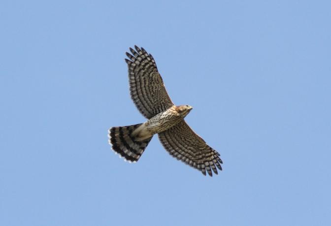 Cooper's Hawk 15.JPG
