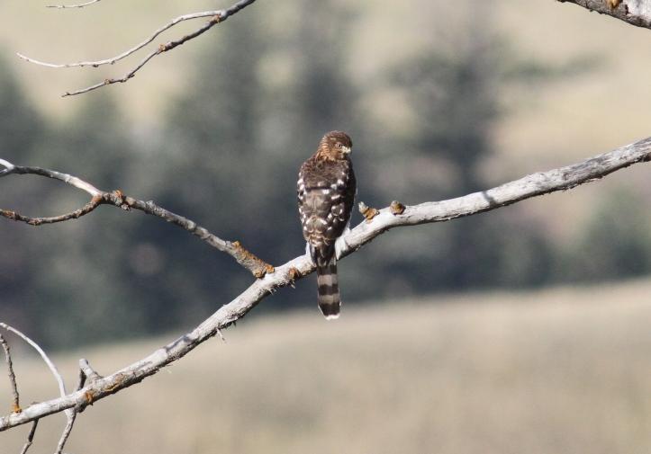 Cooper's Hawk 24.JPG