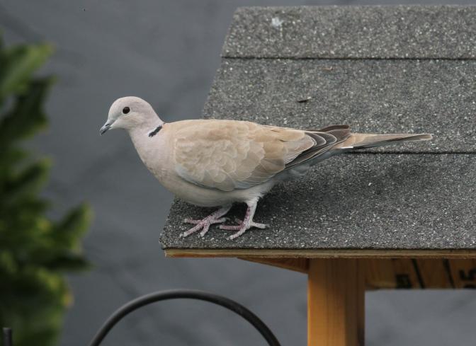 Eurasian Collared Dove ggfg3
