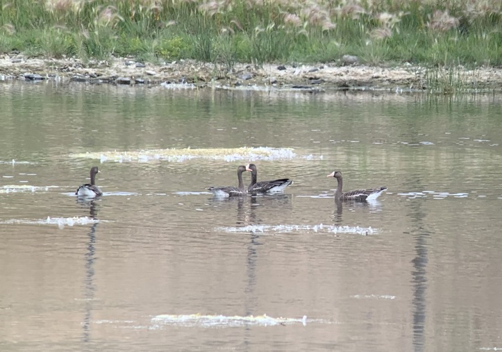 Greater White-fronted Geese jhhj3.JPG