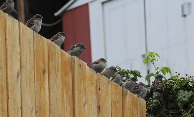 House Sparrows ghgggjj3.JPG