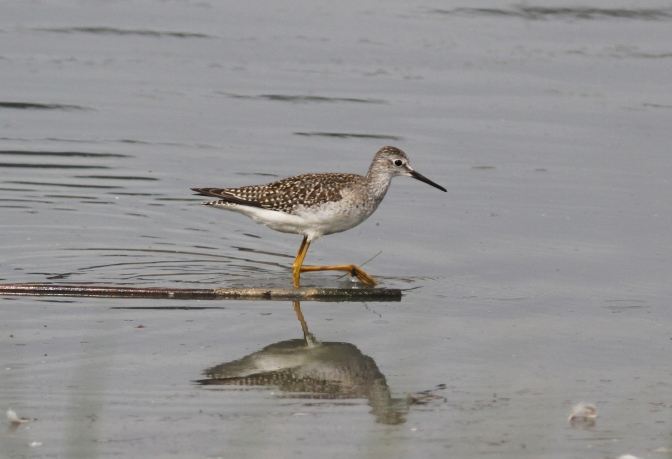 Lesser Yellowlegs khkj3.JPG