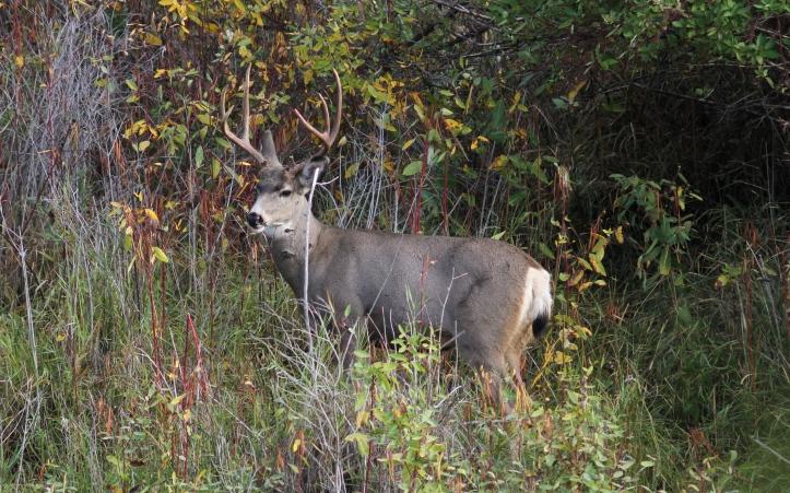 Mule Deer buck hghg3.JPG