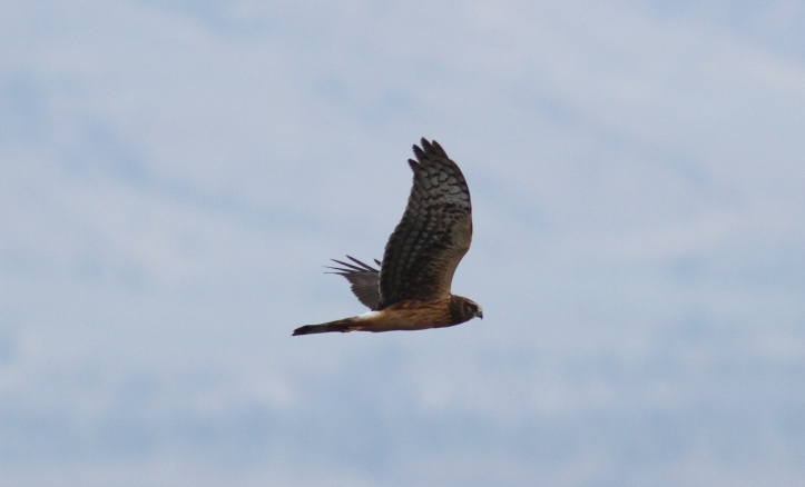 Northern Harrier hkhkh3.JPG