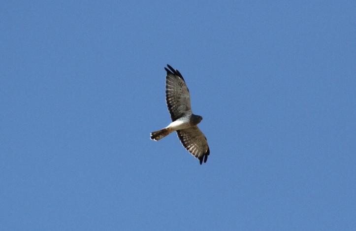 Northern Harrier kgkh3.JPG