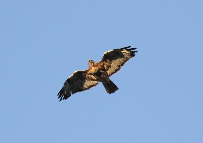 Red-tailed Hawk khgkhk3.JPG