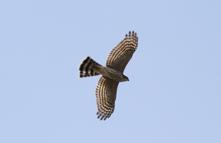 Sharp-shinned Hawk hjjkl3.JPG