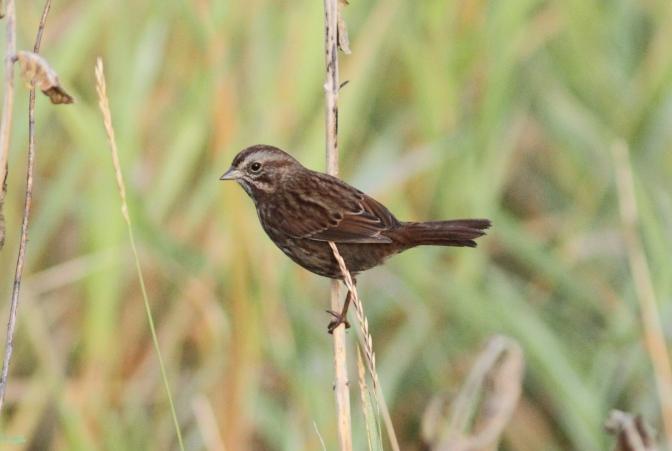 Song Sparrow jghg3