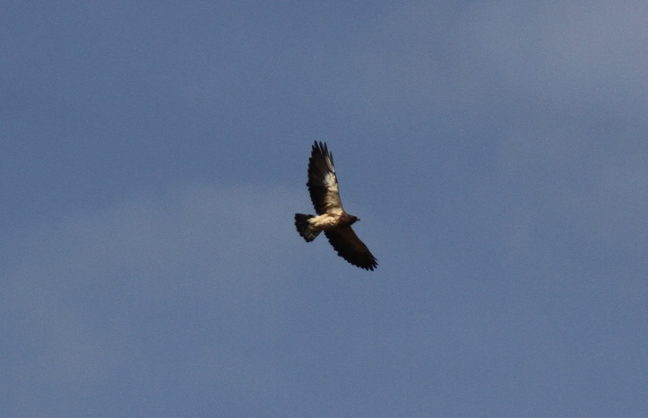Swainson's Hawk ghgh3.JPG