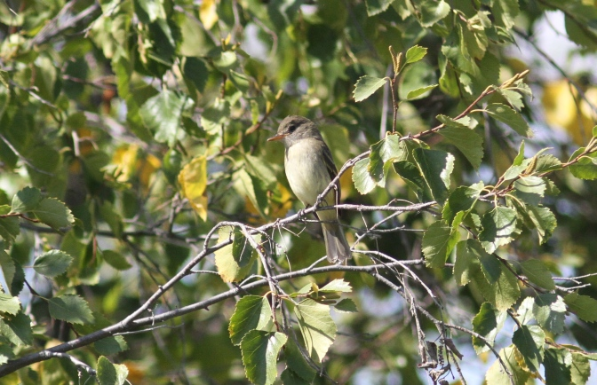 Willow Flycatcher khk3.JPG
