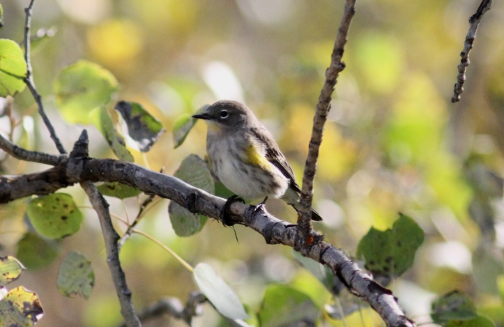 Yellow-rumped Warbler kkhkhg3.JPG