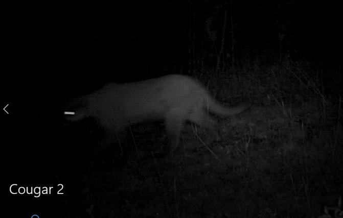 Cougar blog