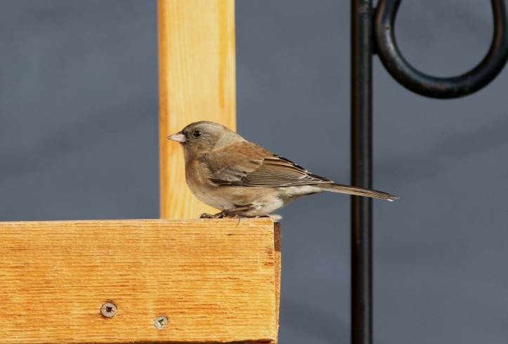 Dark-eyed Junco 974.JPG
