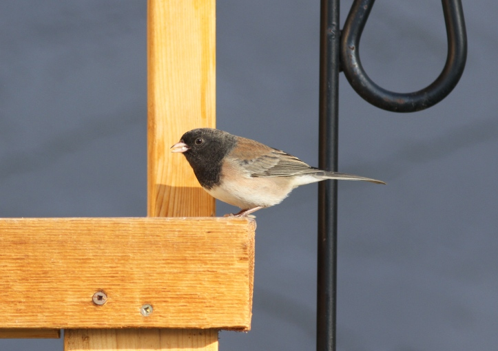 Dark-eyed Junco 975