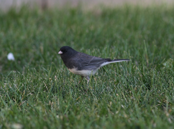 Dark-eyed Junco Slate Coloured 5.JPG