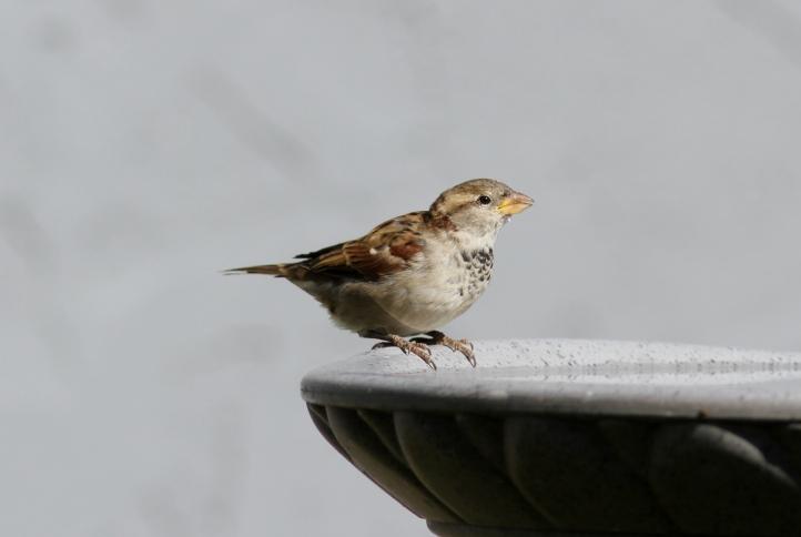House Sparrow ggh3.JPG