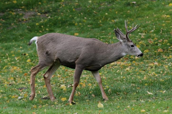 Mule Deer 10 (2).JPG