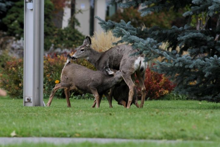 Mule Deer 10 (6).JPG