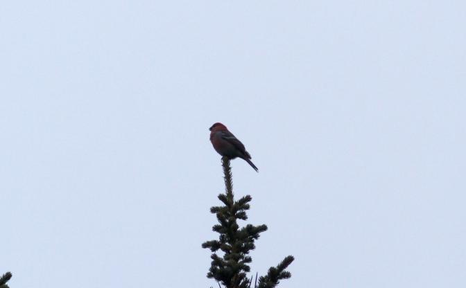 Pine Grosbeak hggfj3.JPG
