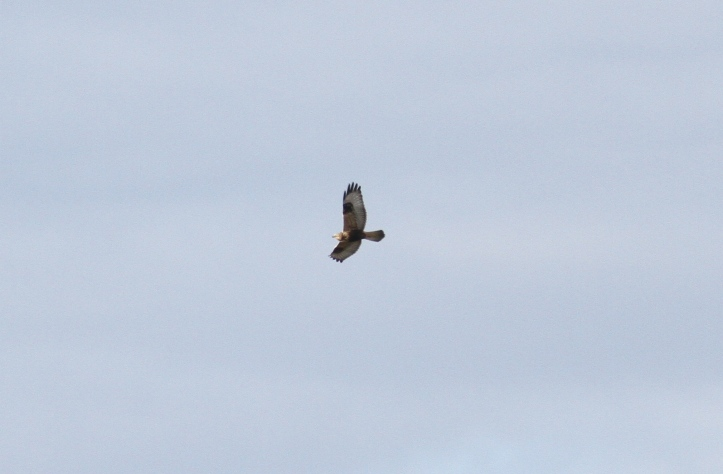Rough-legged Hawk bnhgg3.JPG