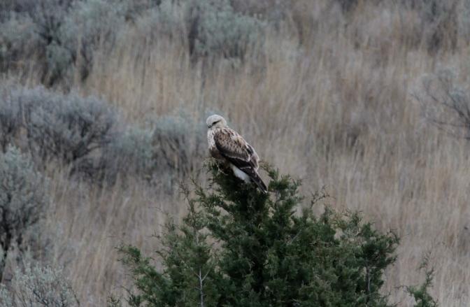 Rough-legged Hawk hghgh2.JPG