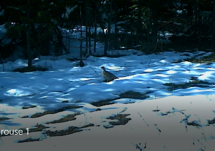 Spruce Grouse blog.PNG